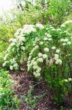 Elderberry (lat Sambucus) Стоковые Изображения
