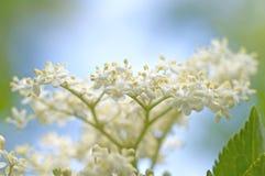 Elderberry okwitnięcia Sambucus Zdjęcie Royalty Free