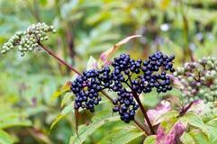 Elderberry owoc w naturze Obrazy Stock
