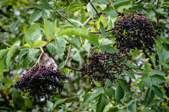 Elderberry plant Stock Images
