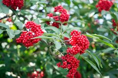 Elderberry red Sambucus racemosa on the branch against green foliage. Medicinal wild plant. Elderberry red Sambucus racemosa on the branch against green foliage royalty free stock photography