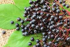 Elderberry (Sambucus Berries) Royalty Free Stock Images