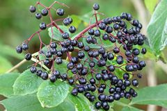 Elderberry (Sambucus Berries) Royalty Free Stock Photography