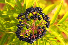 Elderberry, Sambucus Berries Royalty Free Stock Photography