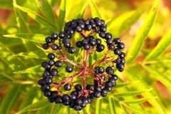 Elderberry, Sambucus Berries Royalty Free Stock Photography