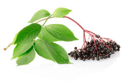 Elderberry, sambucus nigra branch Royalty Free Stock Photos
