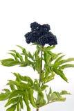 Elderberry Sambucus nigra Royalty Free Stock Images