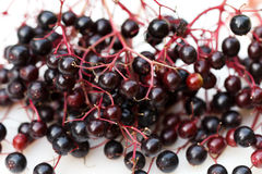 Elderberry, sambucus nigra  on white Stock Photos
