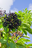 Elderberry shrub. White clouds in blue sky and a elderberry shrub with berries Royalty Free Stock Image