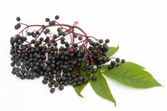 elderberry twig Stock Image