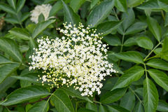 Elderberry umbel and leaves Stock Image