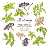 Elderberry vector set. Elderberry elements vector set on white background Royalty Free Stock Image
