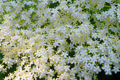 Elderberry white bloom cluster Royalty Free Stock Images