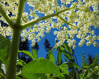 Elderberry white bloom low-angle Royalty Free Stock Photography