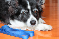 Elderey Border Collie Dog with Blue Leash Stock Photo