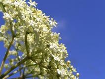 elderflower老黑接骨木花 库存图片