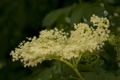Elderflower весной стоковая фотография rf
