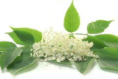 Elderflower Royalty Free Stock Images