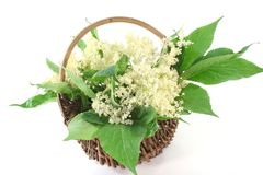 Elderflower Royalty Free Stock Image