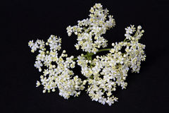 Elderflower Stock Photos