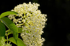 elderflower stock afbeelding
