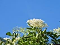 elderflower Imagem de Stock