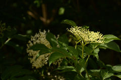 elderflower Photographie stock libre de droits