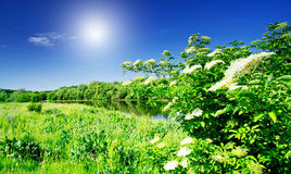 Elderflower And Nice River By Summer. Stock Photography