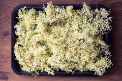 Elderflower background, picked flowers laid to dry Royalty Free Stock Photo