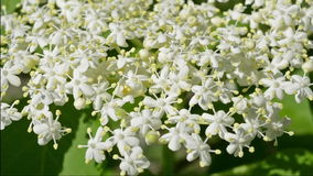 Elderflower. stock footage