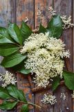 Elderflower blossom flower in wooden background. Edible elderberry flowers add flavour and aroma to drink and dessert. Elderflower blossom flower on wooden stock image