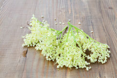 Elderflower blossoms medicinal plant stock image