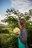 Elderflower da colheita da jovem mulher Fotografia de Stock