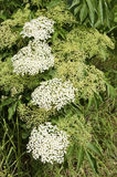 The elderflower Stock Photography