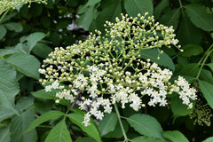 Elderflower. Elder tree blooming in the sun Stock Photography