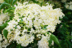 Elderflower. Elderberry Sambucus nigra flowerhead. White flowers inflorescence growing on black elder blooming shrub. Stock Image
