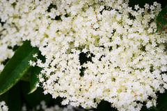 Elderflower. Elderberry Sambucus nigra flowerhead. White flowers inflorescence growing on black elder blooming shrub. Royalty Free Stock Photos
