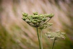 Elderflower en flor Foto de archivo libre de regalías