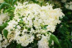 elderflower Flowerhead de nigra de Sambucus de baie de sureau Inflorescence de fleurs blanches s'élevant sur l'arbuste de florais Image stock