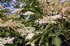 Elderflower in garden Stock Image