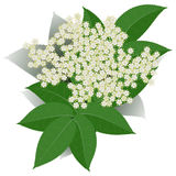 Elderflower Royalty Free Stock Photo