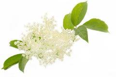 Elderflower på vit bakgrund Arkivfoton