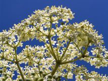 Elderflower  Sambucus nigra Stock Photo