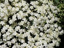 elderflower sambucus nigra Fotografia Stock