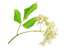 Elderflower (Sambucus nigra) Stock Photos