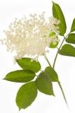 Elderflower on white background Stock Images