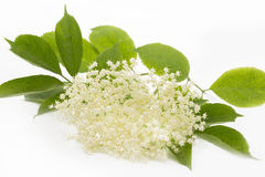 Elderflower on white background Royalty Free Stock Images