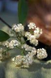 Elderflowers Stock Photos