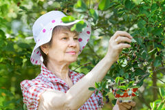 Elderly adult female in garden harvesting berries Royalty Free Stock Photos