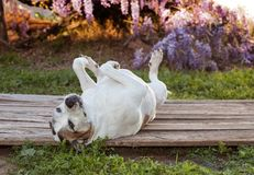 Silly pitbull dog lays on her back with feet in the air. Elderly american staffordshire terrier pitbull is relaxing on an old wooden deck. She has her feet up Stock Photos